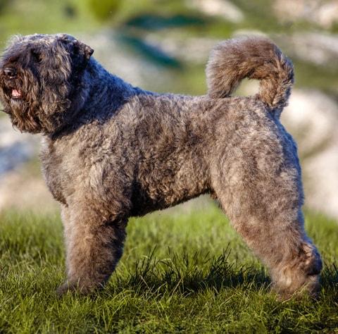 Bouvier Des Flandres Dog Breed Profile