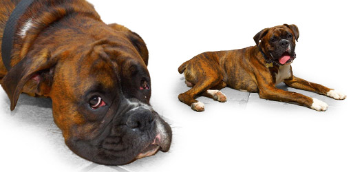 Boxer dog breed profile