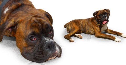 Boxer dog breed profile