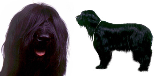 Briard dog breed profile