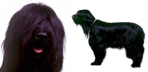 Briard dog breed profile
