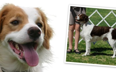 Brittany Dog Breed Profile