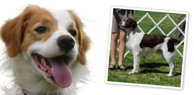 Brittany Dog Breed Profile