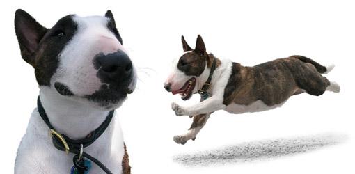 Miniature Bull Terrier dog breed profile