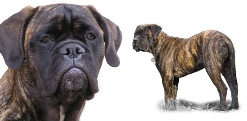 Bullmastiff dog breed profile