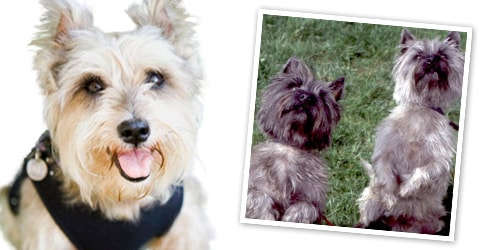Cairn Terrier dog breed profile