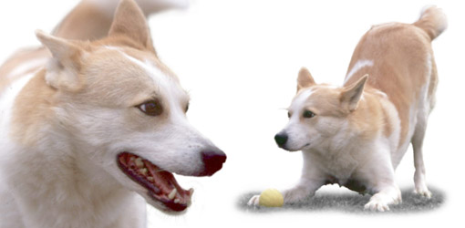 Canaan dog breed profile
