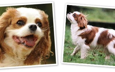 Cavalier King Charles Spaniel dog breed profile