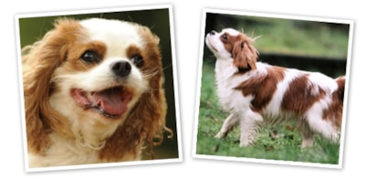 Cavalier King Charles Spaniel dog breed profile