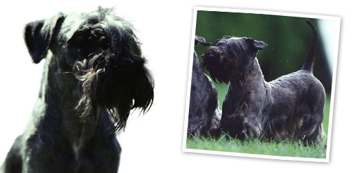 Cesky Terrier dog breed profile