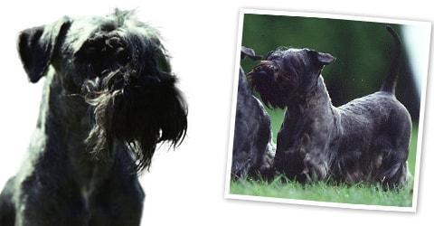 Cesky Terrier dog breed profile