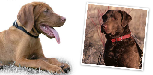 Chesapeake Bay Retriever dog breed profile