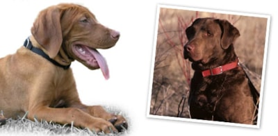 Chesapeake Bay Retriever dog breed profile