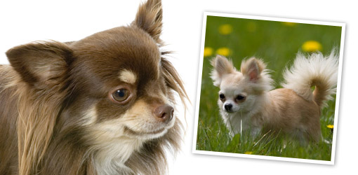 Long Haired Chihuahua dog breed profile