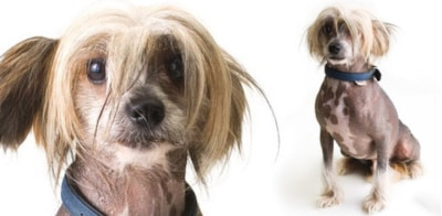 Chinese Crested dog breed profile