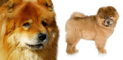 Chow Chow dog breed profile