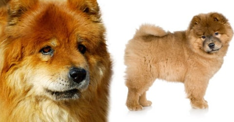 Chow Chow dog breed profile