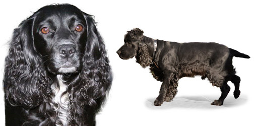 English Cocker Spaniel dog breed profile