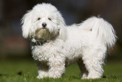 Coton de Tulear dog breed profile