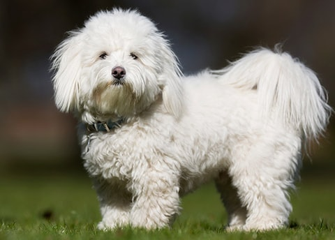 Coton de Tulear dog breed profile