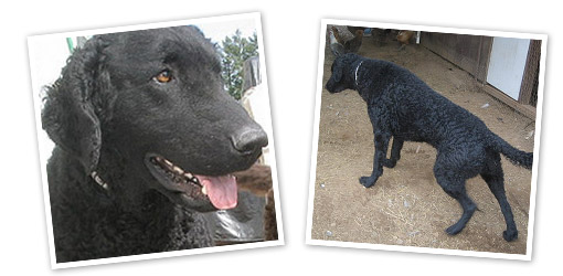 Curly-coated Retriever dog breed profile