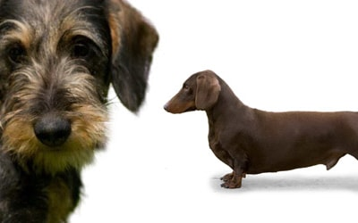 Dachshund Dog Breed Profile