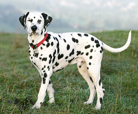 Dalmatian dog breed profile