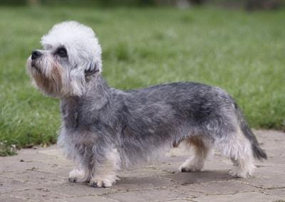 Dandie Dinmont dog breed profile