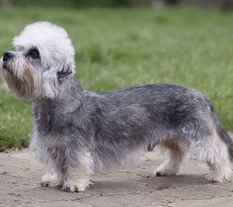 Dandie Dinmont dog breed profile