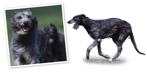 Deerhound dog breed profile
