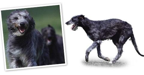 Deerhound dog breed profile