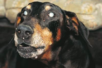 Can dogs get cataracts?