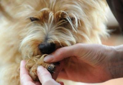 Dog ripped out nail