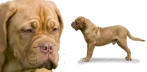 Dogue de Bordeaux dog breed profile