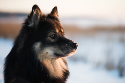 Finnish Lapphund dog breed profile