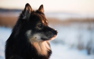 Finnish Lapphund dog breed profile