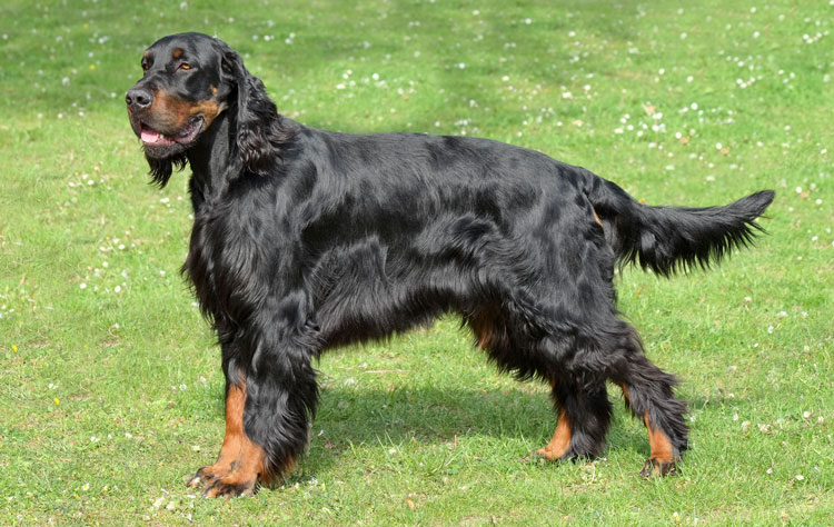 Gordon Setter dog breed profile