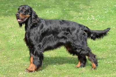 Gordon Setter dog breed profile