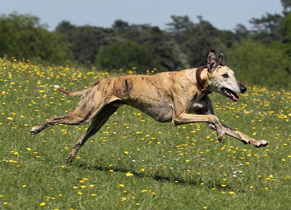 Greyhound breed profile