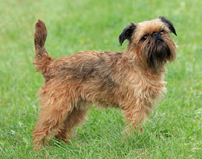 Griffon Bruxellois dog breed profile