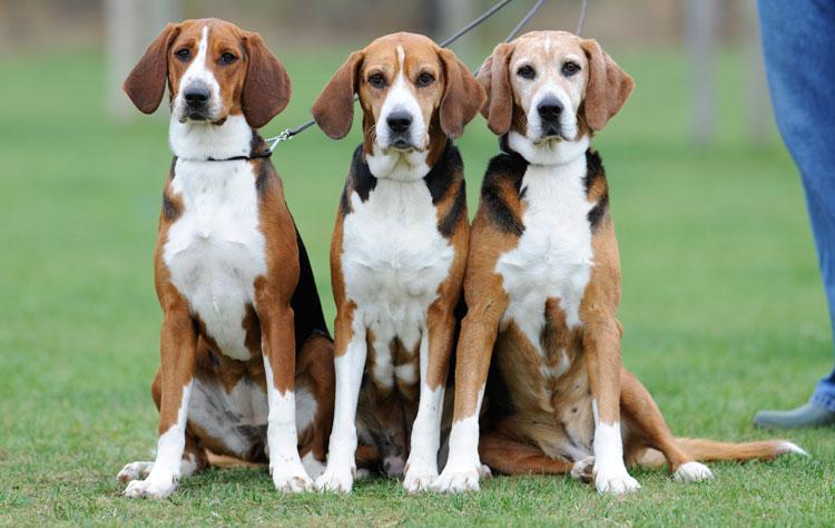 Hamiltonstovare dog breed profile