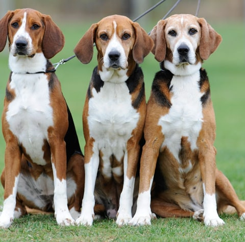 Hamiltonstovare dog breed profile