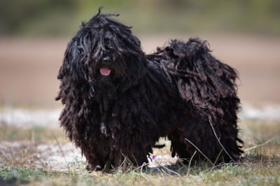 Hungarian Puli dog breed profile