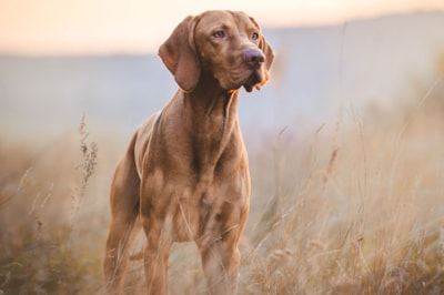 Hungarian Vizsla dog breed profile