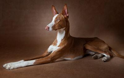 Ibizan Hound dog breed profile