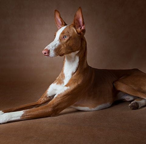 Ibizan Hound dog breed profile