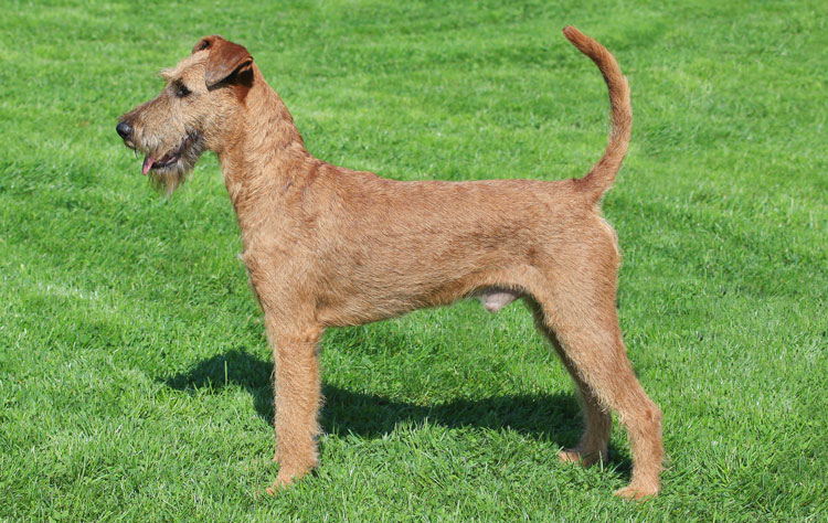 Irish Terrier dog breed profile