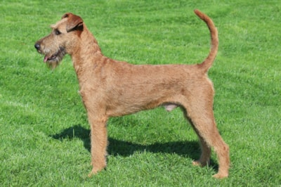 Irish Terrier dog breed profile
