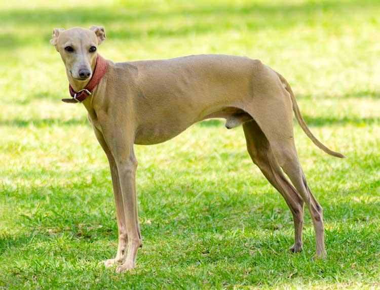 Italian Greyhound dog breed profile