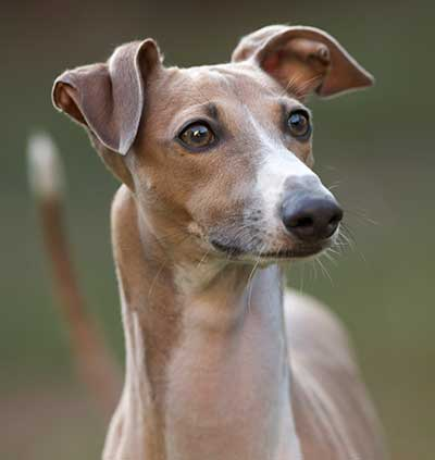 Italian Greyhound dog breed profile